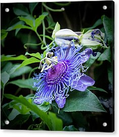 Blue Eyed Susan Passion Flower Acrylic Print by Phyllis Taylor
