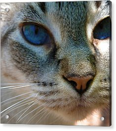 Blue Eyes Acrylic Print by Rose  Hill