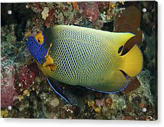 Blue Face Angelfish Acrylic Print by Steve Rosenberg - Printscapes