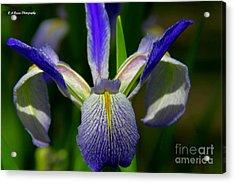 Blue Flag Iris Acrylic Print