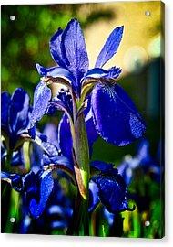 Blue Flame Iris Acrylic Print by Michael Putnam