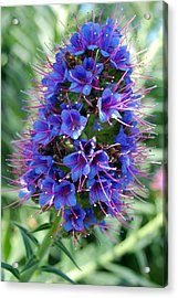 Blue Flowers Acrylic Print by Amy Fose
