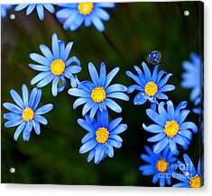 Blue Flowers Acrylic Print by Wingsdomain Art and Photography
