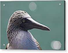 Blue Footed Booby II Acrylic Print by Dave Fleetham