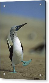 Blue-footed Booby Sula Nebouxii Acrylic Print by Tui De Roy