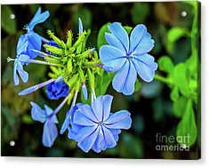 Blue For You Acrylic Print