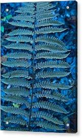 Blue Frond Acrylic Print by Douglas Barnett