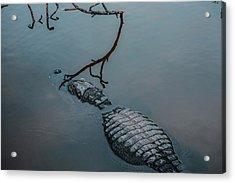 Blue Gator Acrylic Print