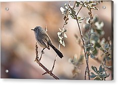 Acrylic Print featuring the photograph Black-tailed Gnatcatcher by Dan McManus