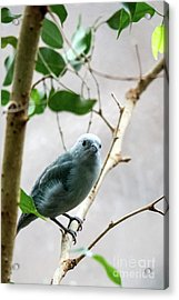 Blue-grey Tanager 2 Acrylic Print