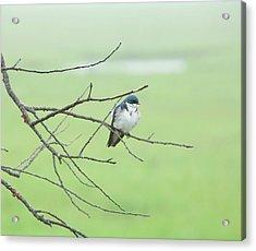 Blue Headed Bird Acrylic Print by Randi Shenkman
