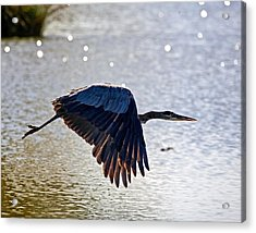 Blue Heron Aglow Acrylic Print by Charlie Osborn