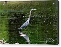 Blue Heron Acrylic Print by Brian Kalbe