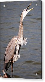 Acrylic Print featuring the photograph Blue Heron Calling by Sumoflam Photography