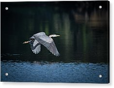 Blue Heron Flying Acrylic Print