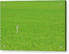 Blue Heron In Field Acrylic Print