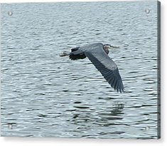 Blue Heron In Flight Acrylic Print by Nick Gustafson