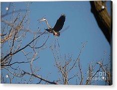 Acrylic Print featuring the photograph Blue Heron Landing by David Bearden