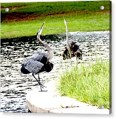 Blue Heron Mating Dance Acrylic Print by Bill Perry