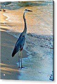 Blue Heron On The Beach Close Up Acrylic Print