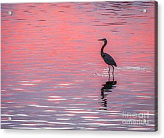 Acrylic Print featuring the photograph Blue Heron - Pink Water by Tom Claud