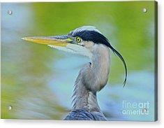 Acrylic Print featuring the photograph Blue Heron Portrait 2017 by Deborah Benoit
