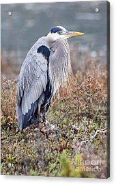 Acrylic Print featuring the photograph Blue Heron Portrait by Eddie Yerkish