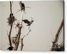 Acrylic Print featuring the photograph Blue Heron Posing by David Bearden