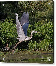 Blue Heron Acrylic Print by Robert Pearson