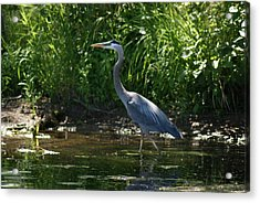 Acrylic Print featuring the photograph Blue Heron by Ron Read