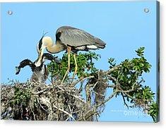 Blue Heron Series Feeding Acrylic Print by Deborah Benoit