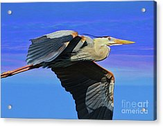 Acrylic Print featuring the painting Blue Heron Series Fly by Deborah Benoit