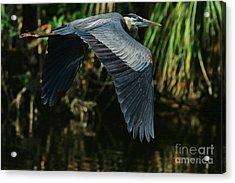 Acrylic Print featuring the photograph Blue Heron Series The Pond by Deborah Benoit