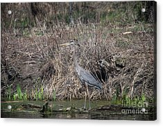 Acrylic Print featuring the photograph Blue Heron Stalking Dinner by David Bearden