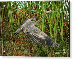Blue Heron Take-off Acrylic Print by Tom Claud
