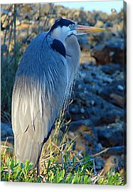 Blue Heron Visions Acrylic Print by Nada Frazier