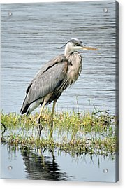 Blue Heron Acrylic Print by William Albanese Sr