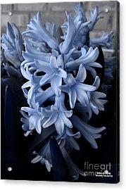 Blue Hyacinth Acrylic Print