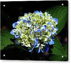 Blue Hydrangea Onstage 2620 H_2 Acrylic Print