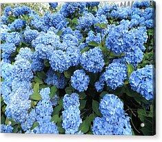 Blue Hydrangeas Acrylic Print by Kate Gallagher