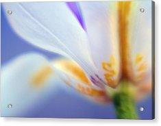 Blue Iris 3 Acrylic Print by DRK Studios