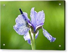 Blue Iris Germanica Acrylic Print by Frank Tschakert