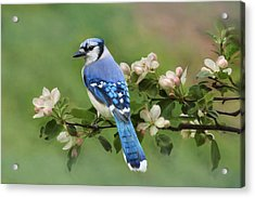 Blue Jay And Blossoms Acrylic Print
