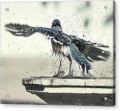 Blue Jay Bath Time Acrylic Print