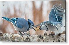 Blue Jay Battle Acrylic Print by Patti Deters
