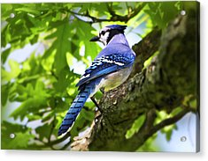 Blue Jay Acrylic Print by Christina Rollo