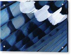 Blue Jay Cyanocitta Cristata Feathers Acrylic Print by Rolf Nussbaumer