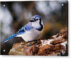 Blue Jay Day Acrylic Print