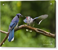 Blue Jay Fledgling Begs For Food Acrylic Print by Marie Read