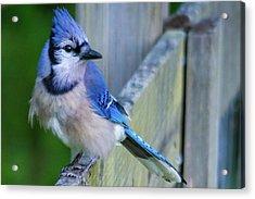 Blue Jay Fluffed Acrylic Print